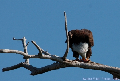 bald-eagle-14-1024x693